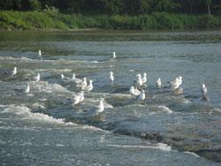 Side Cut Metropark - Maumee River Rapids