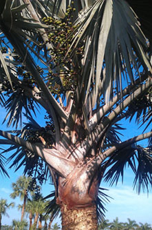 Bismarck Palm Tree in Florida.