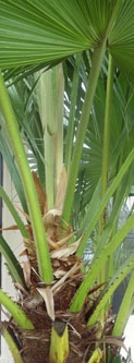 Chinese fan palm tree in Florida.