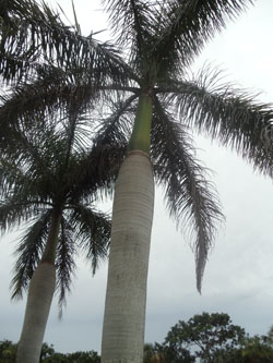 Royal Palm Tree in Florida.