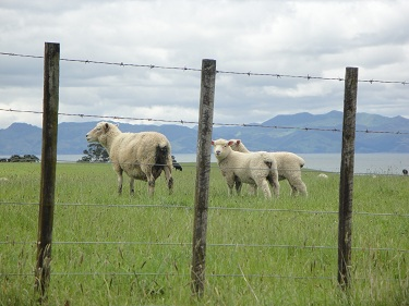 Sheep - New Zealand