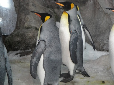 King and Gentoo Penguins in Auckland, New Zealand aquarium