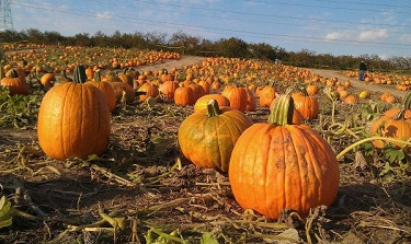 Westview Orchards - Pumpkin Patch - Pure Michigan