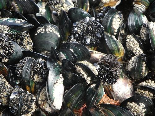Te Henga, Bethells Beach, green clams - New Zealand