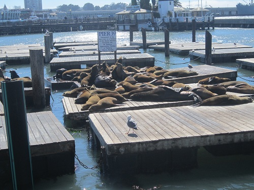 Sea lions, Pier 39, San Francisco