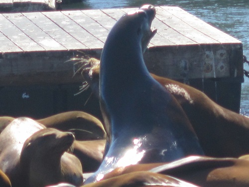 Sea lions, Pier 39, San Francisco
