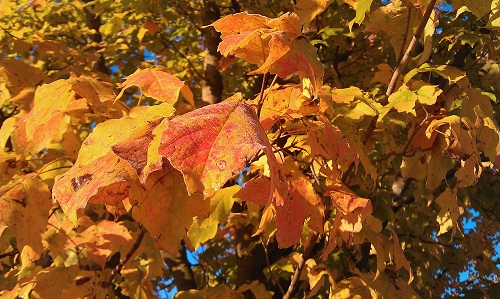 Midwest United States, Autumn leaf colors