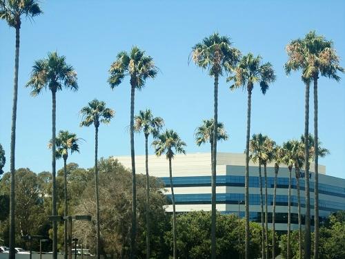 Bay Area, Silicon Valley, California palm trees