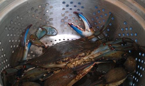 Gulf Coast Florida, blue crabs