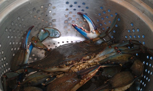 Gulf Coast Florida, blue crabs