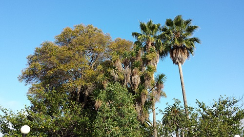 Stanford University, California, palm trees