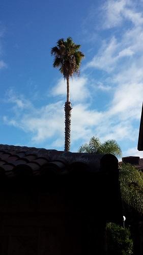 Stanford University, California, palm trees