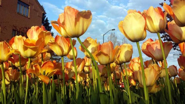 Holland, Michigan - tulip festival, tulips