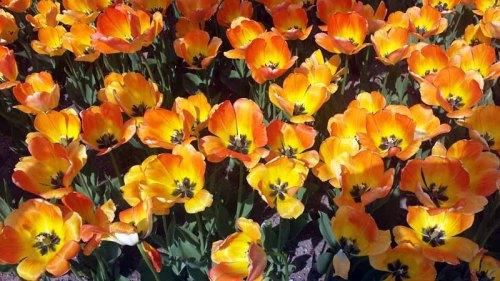 Holland, Michigan - tulip festival, tulips