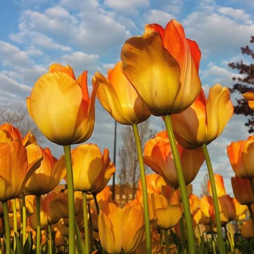 The 2015 Tulip Time Festival - Holland, Michigan
