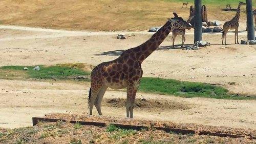 San Diego Zoo Safari Park - Africa Tram - giraffe