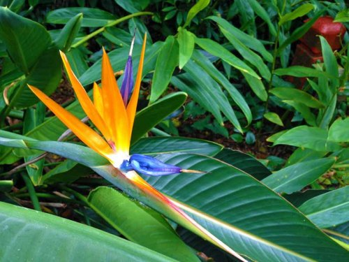 Sunken Gardens, a botanical and tropical gardens paradise in St. Petersburg, Florida.