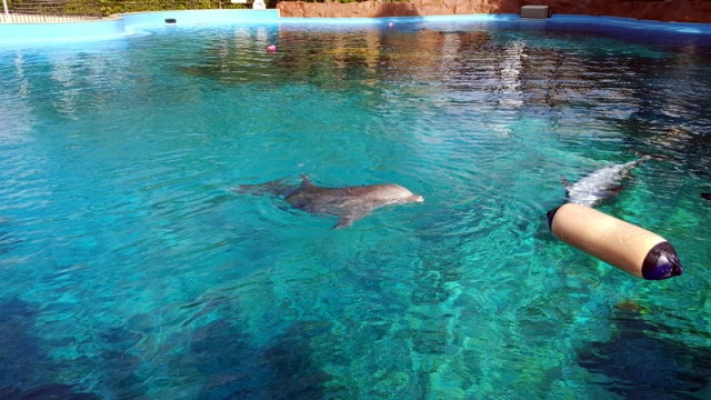 The dolphins at Siegfried & Roy's Secret Garden and Dolphin Habitat within The Mirage in Las Vegas