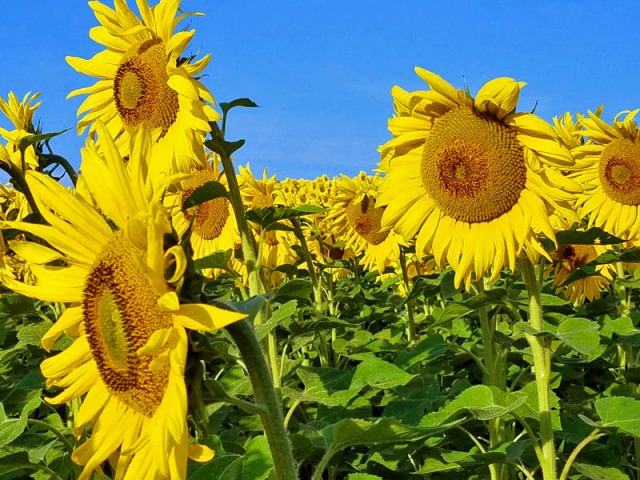Pure Michigan sunflowers, Ann Arbor summer time