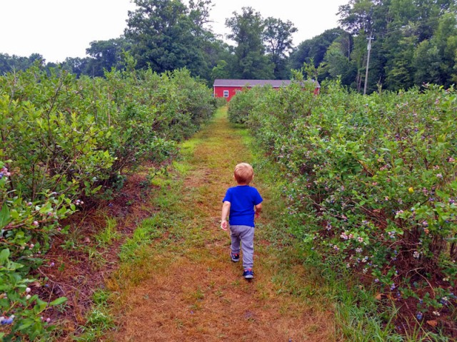My little man experiencing his first fruit farm and blueberry picking experience. Family fun at its best.