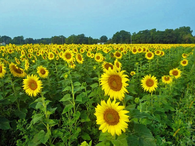 Michigan sunflower garden - Fowlerville - Munsell Farms