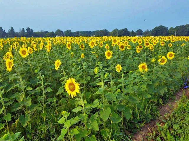 Pure Michigan sunflowers