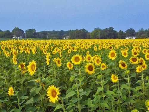 Pure Michigan sunflowers