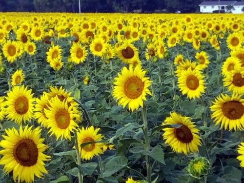 Michigan sunflower garden - Fowlerville - Munsell Farms