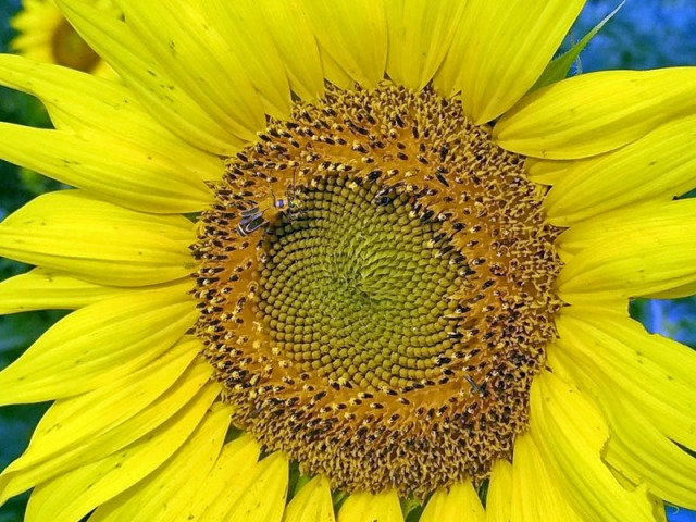 Michigan sunflower beauty