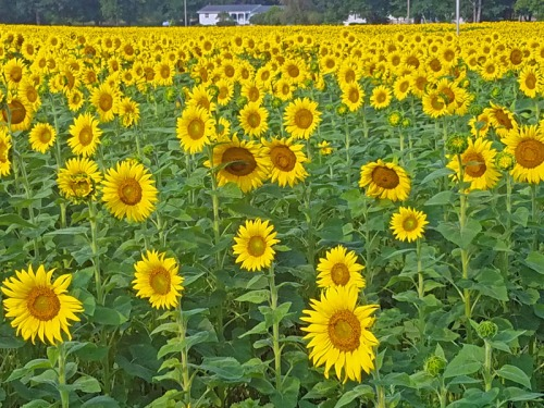 Pure Michigan sunflowers in late summer