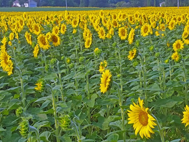 Pure Michigan sunflowers in late summer