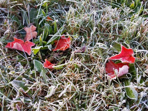 Frosts, hard freezes and Fall colors work beautifully together