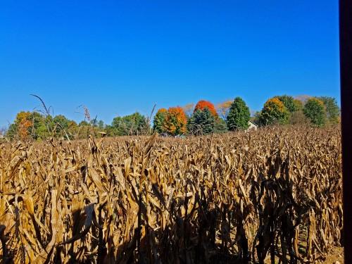 Corn maze at Chamber Farm on Farley, Pinckney, Michigan