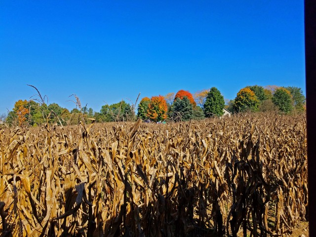 Corn maze at Chamber Farm on Farley, Pinckney, Michigan