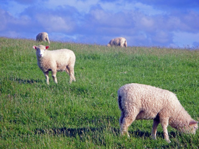 Road Trip Fun Capturing Cute New Zealand Sheep, Shakespear Regional Park in Auckland