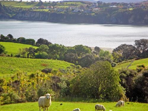 Road Trip Fun Capturing Cute New Zealand Sheep, Shakespear Regional Park in Auckland
