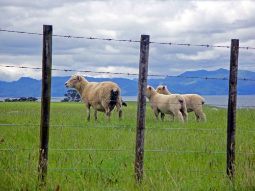 Road Trip Fun Capturing Cute New Zealand Sheep, Firth of Thames