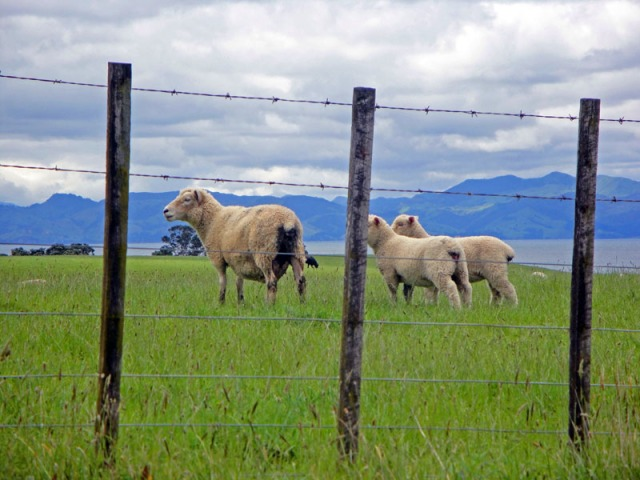 Road Trip Fun Capturing Cute New Zealand Sheep, Firth of Thames
