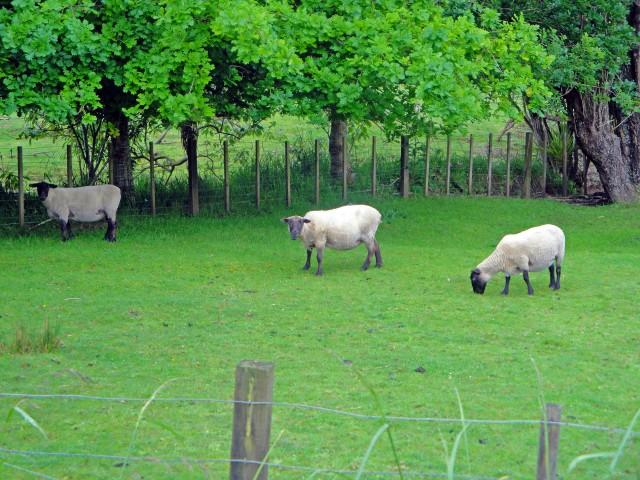 Road Trip Fun Capturing Cute New Zealand Sheep, between Piha Beach and Bethells Beach