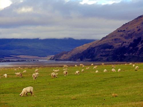 Road Trip Fun Capturing Cute New Zealand Sheep, between Arthurs Pass and Christchurch