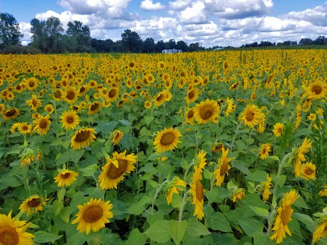 Pure Michigan sunflowers - Schell Family Farm