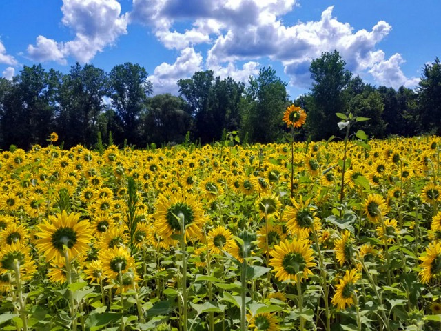 Pure Michigan sunflowers - Schell Family Farm
