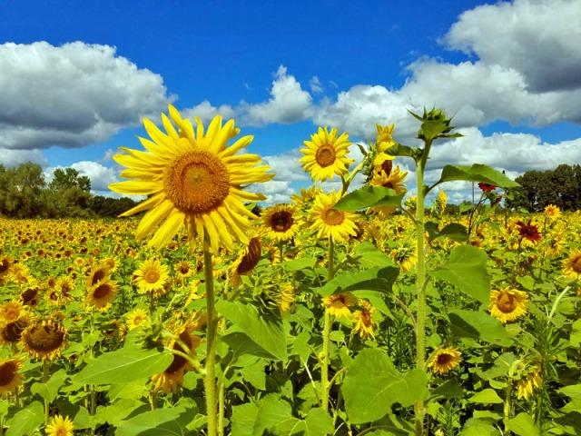 Pure Michigan sunflower field - Schell Family Farm
