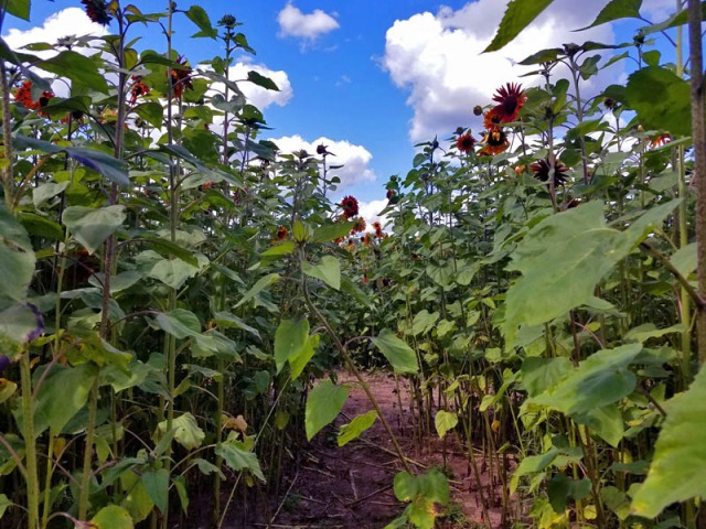 Michigan orange sunflower field - Schell Family Farm