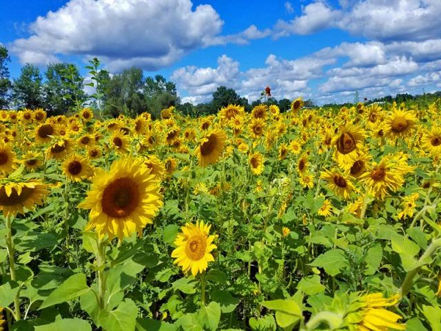 Michigan sunflower farm