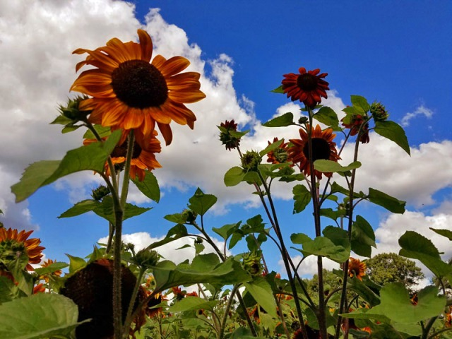 Orange sunflower farm