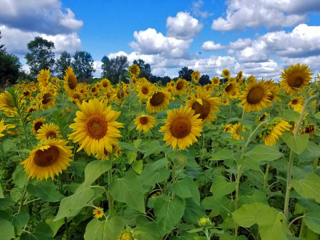 Pure Michigan sunflowers in Pinckney