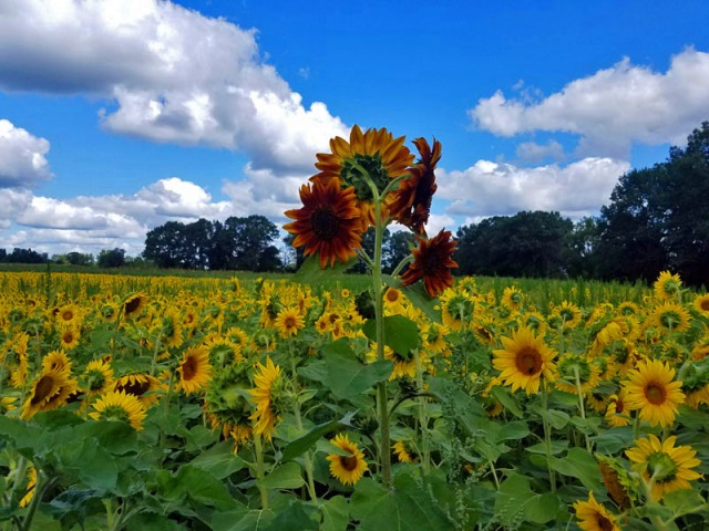 Pure Michigan sunflowers in Pinckney, Shrill Family Farm