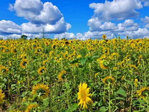 Pure Michigan sunflowers in Pinckney, Shrill Family Farm