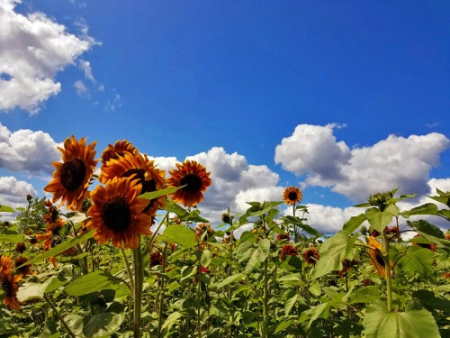 Orange sunflowers in Michigan